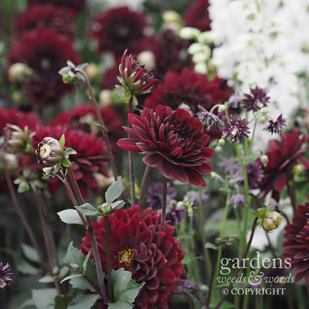 Detail from the National Dahlia Collection stand at the RHS Chelsea Flower Show 2018