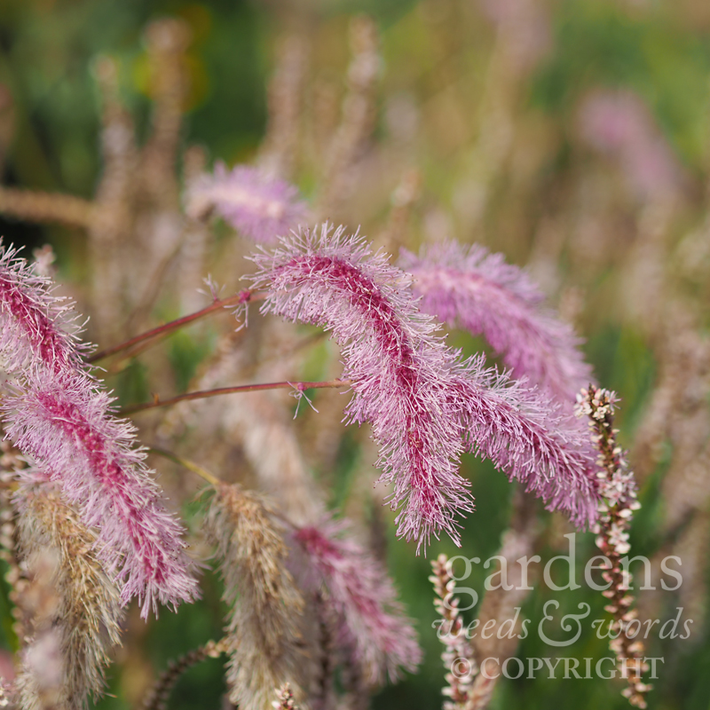 Fluffy  Sanguisorba  'Lilac Squirrel'