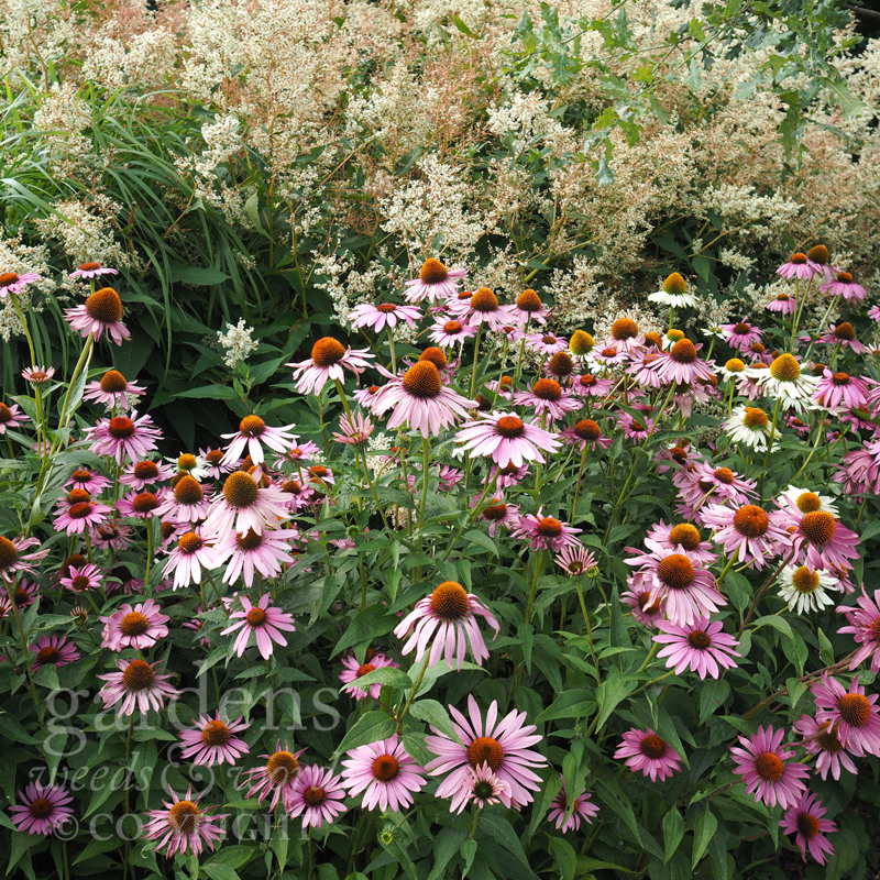 GWW_Sussex_praries_echinacea.jpg