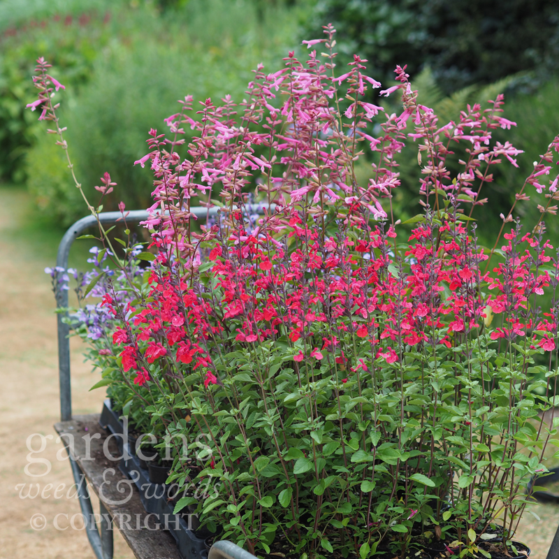 The red flowered variety with purple stems is 'Jezebel'.