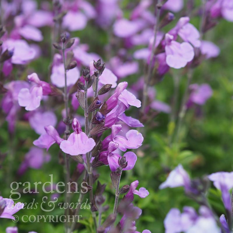 Salvia  'So Cool Purple'