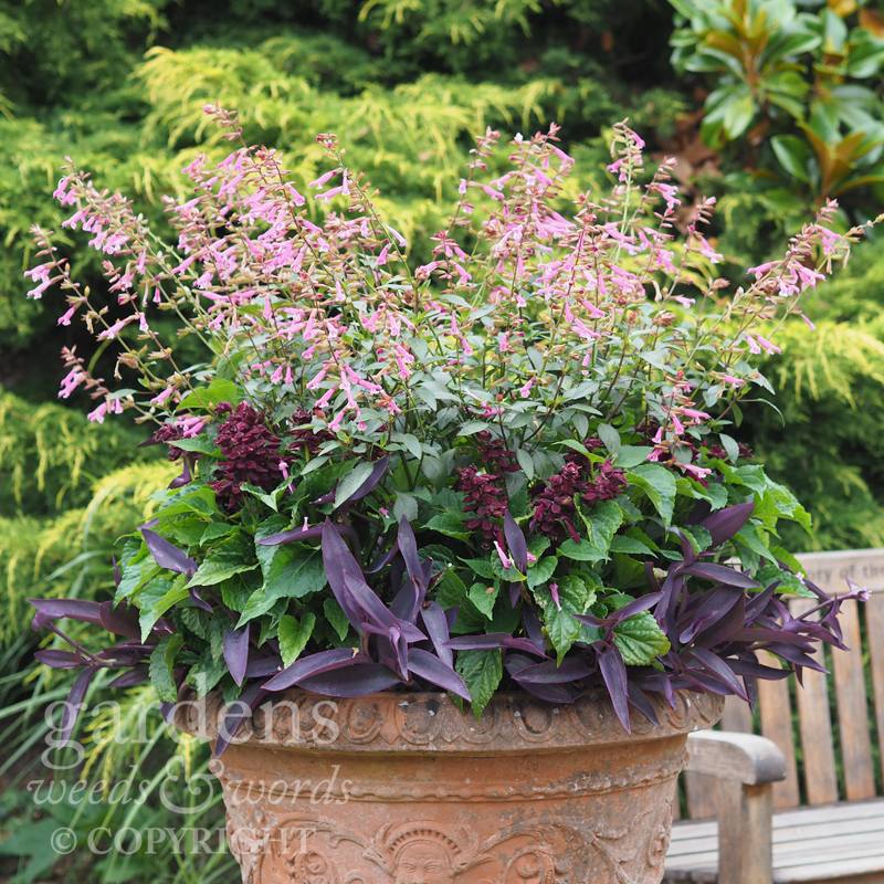 A container display at Great Comp with  Salvia  'Kisses and Wishes' and  S. spendens  'Go-Go Purple'