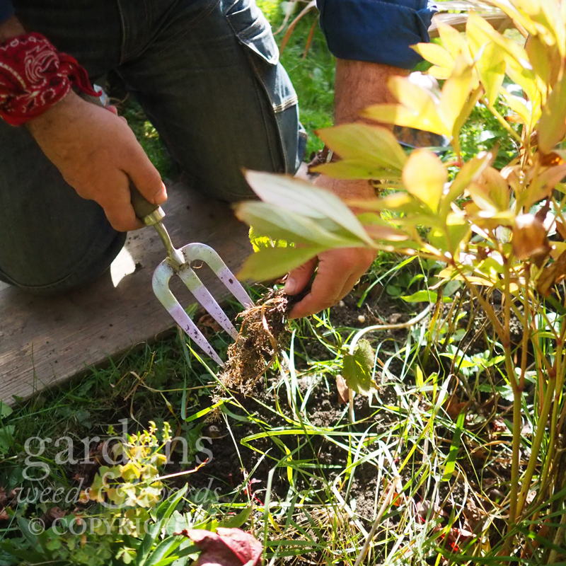Happily weeding in the October sun. Wood avens in hand, can't wait to get onto that couch grass…