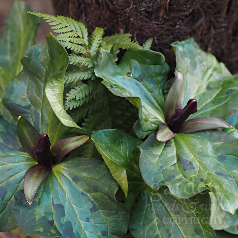 Trillium chloropetalum  in a ferny pot
