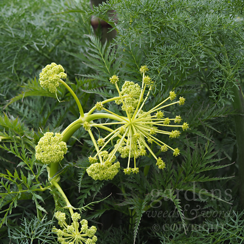 Giant fennel ( Ferrula communis ) preparing itself for a stretch