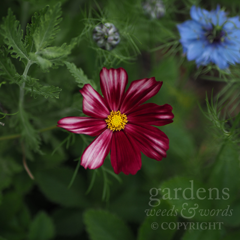 Cosmos bipinnatus  'Velouette' –first time I've grown this variety, and it's gorgeous.