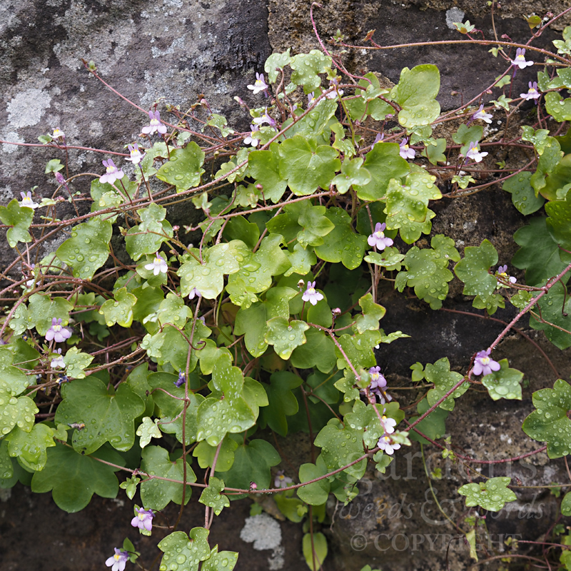 Ivy-leaved toadflax ( Cymbalaria muralis ) on a low stone wall in the gardens at Great Comp
