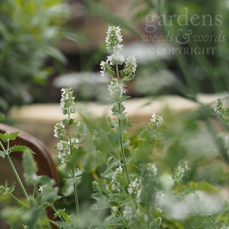 Nepeta cataria  'Citriodora' –detail from The Naturecraft Garden by Pollyanna Wilkinson at RHS Hampton Court Flower Show 2019