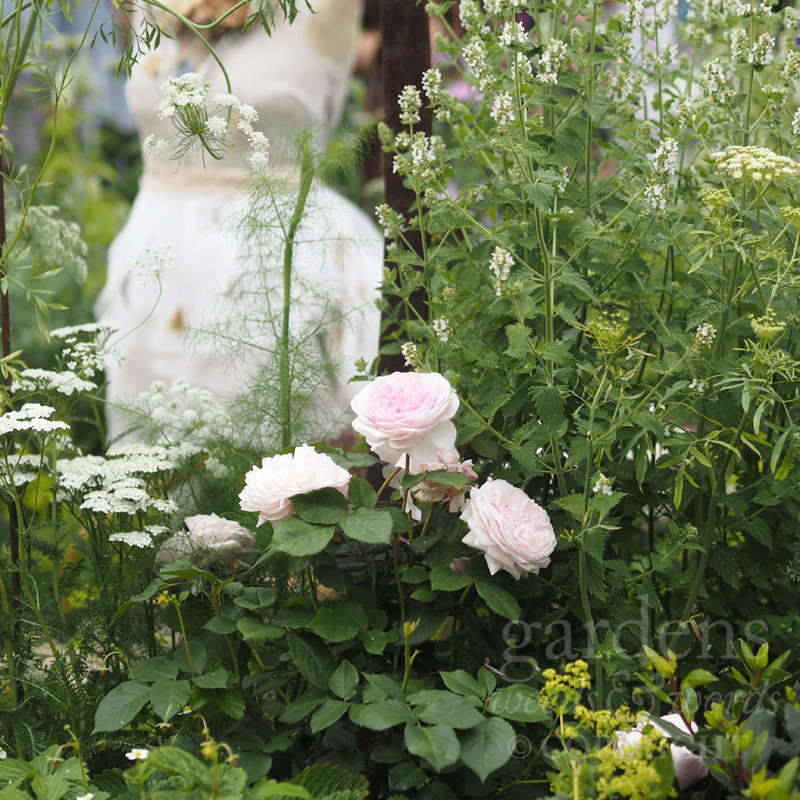 The rose 'Olivia Rose Austin' nestles among achilleas, dill and lemon catnip on  The Naturecraft Garden  for Belvoir Fruit Farms, designed by Pollyanna Wilkinson, at the RHS Hampton Court Flower Show 2019