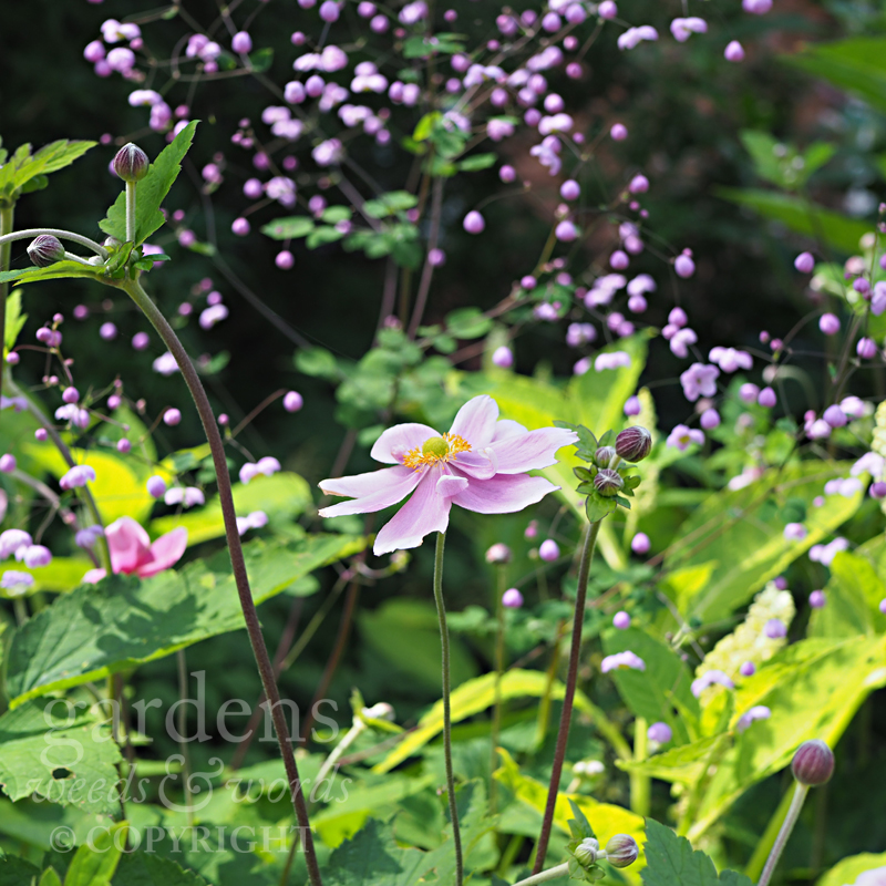 Japanese anemones against a backdrop of  Thalictrum , fellow members of the buttercup family ( Ranunculaceae ), at the RHS Wisley