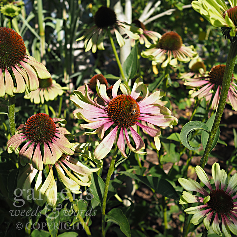 Echinacea purpurea  'Green Twister' in the tropical garden at RHS Wisley