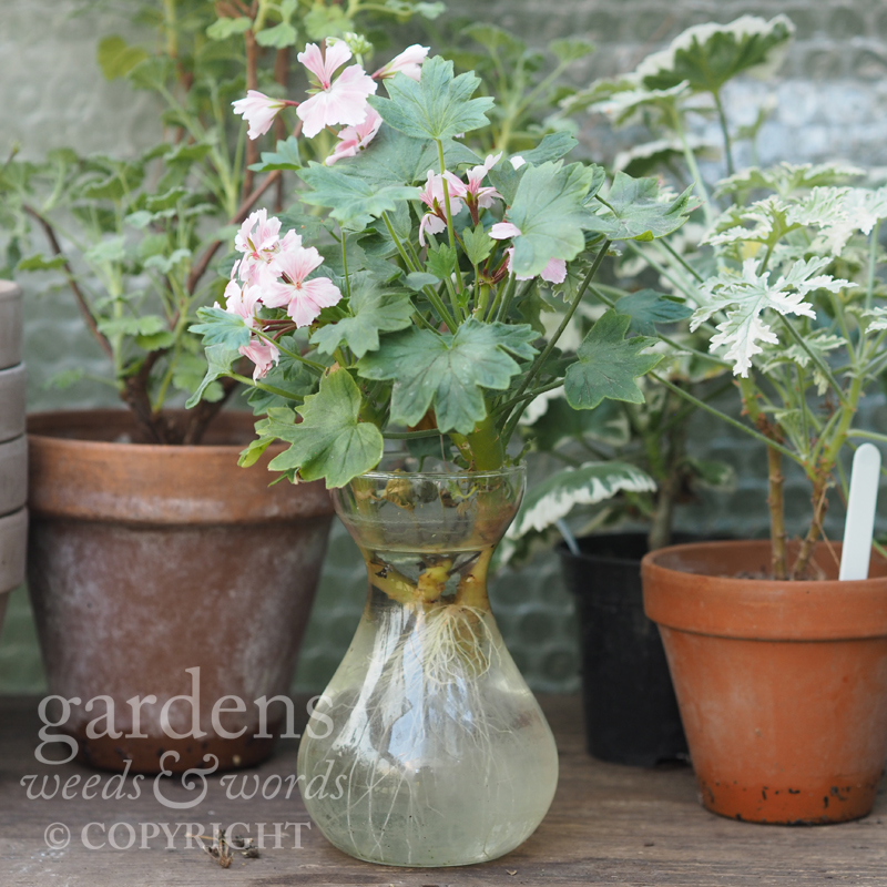 Pelargoniums just love to root – a stem of  Pelargonium  'Vectis Allure' roots in the jar of water it was hastily put into when carelessly snapped off from the main plant