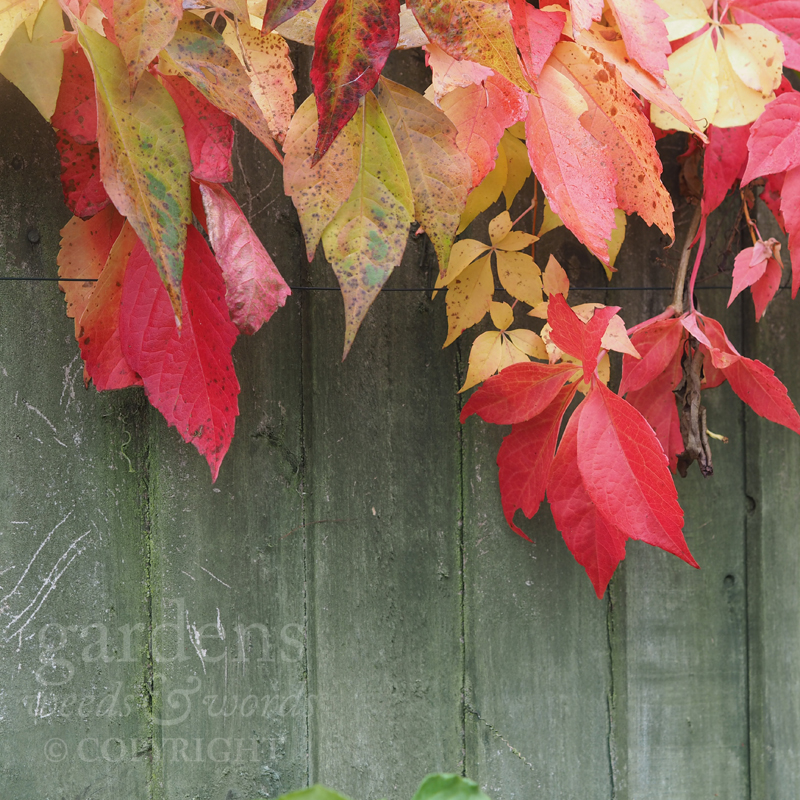 Next-door's Virginia creeper on this side of a six foot fence –a barrier it gleefully scorns