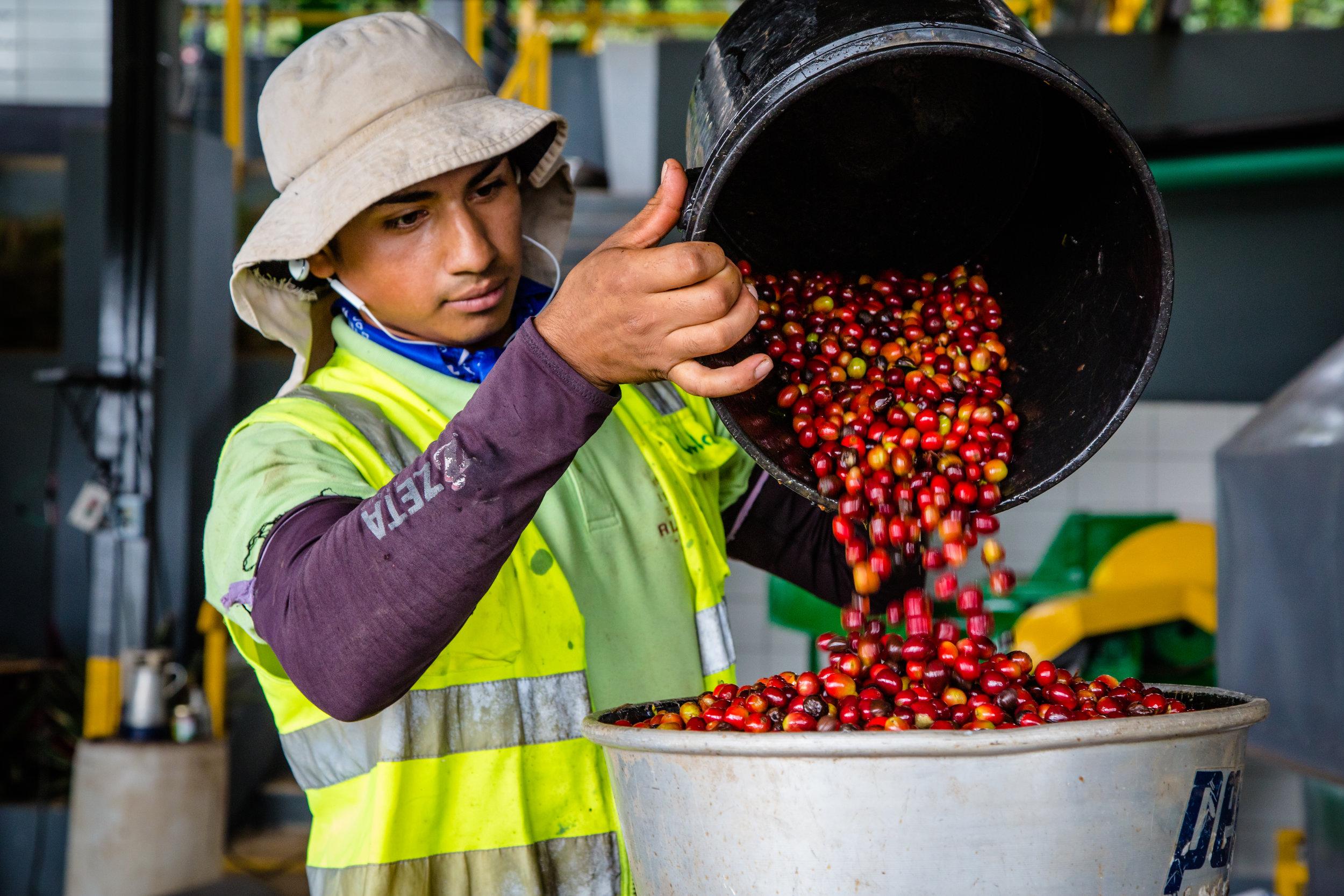 The coffee harvest