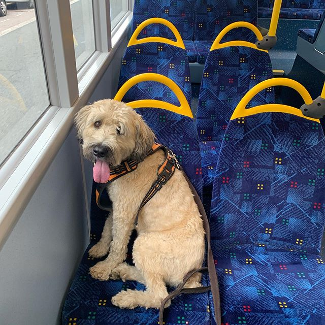 Riding the bus with my human. #dogsofinstagram #dogs #london #londondoubledecker #busride