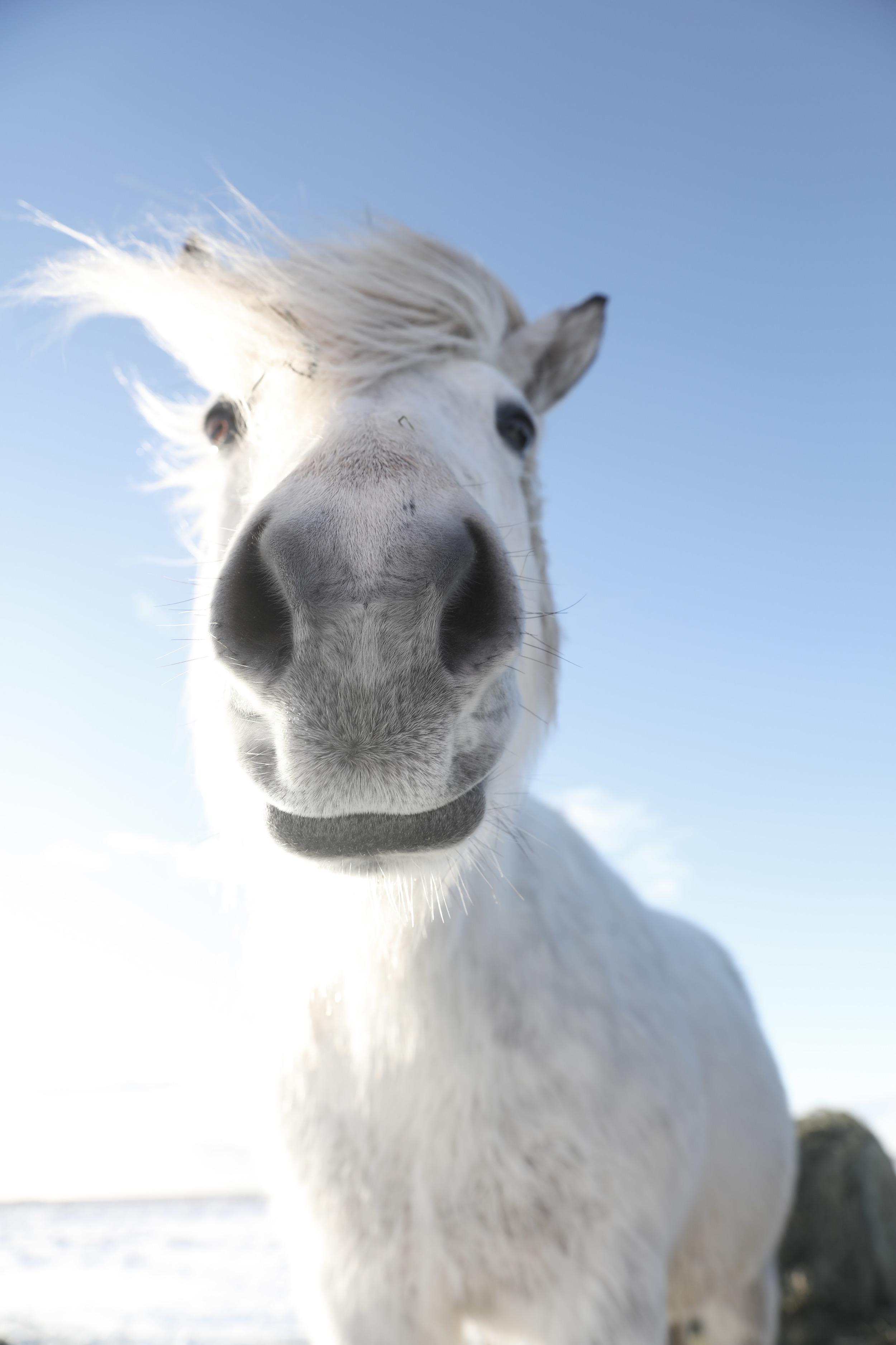 Beautiful Icelandic horses are the friendliest horses