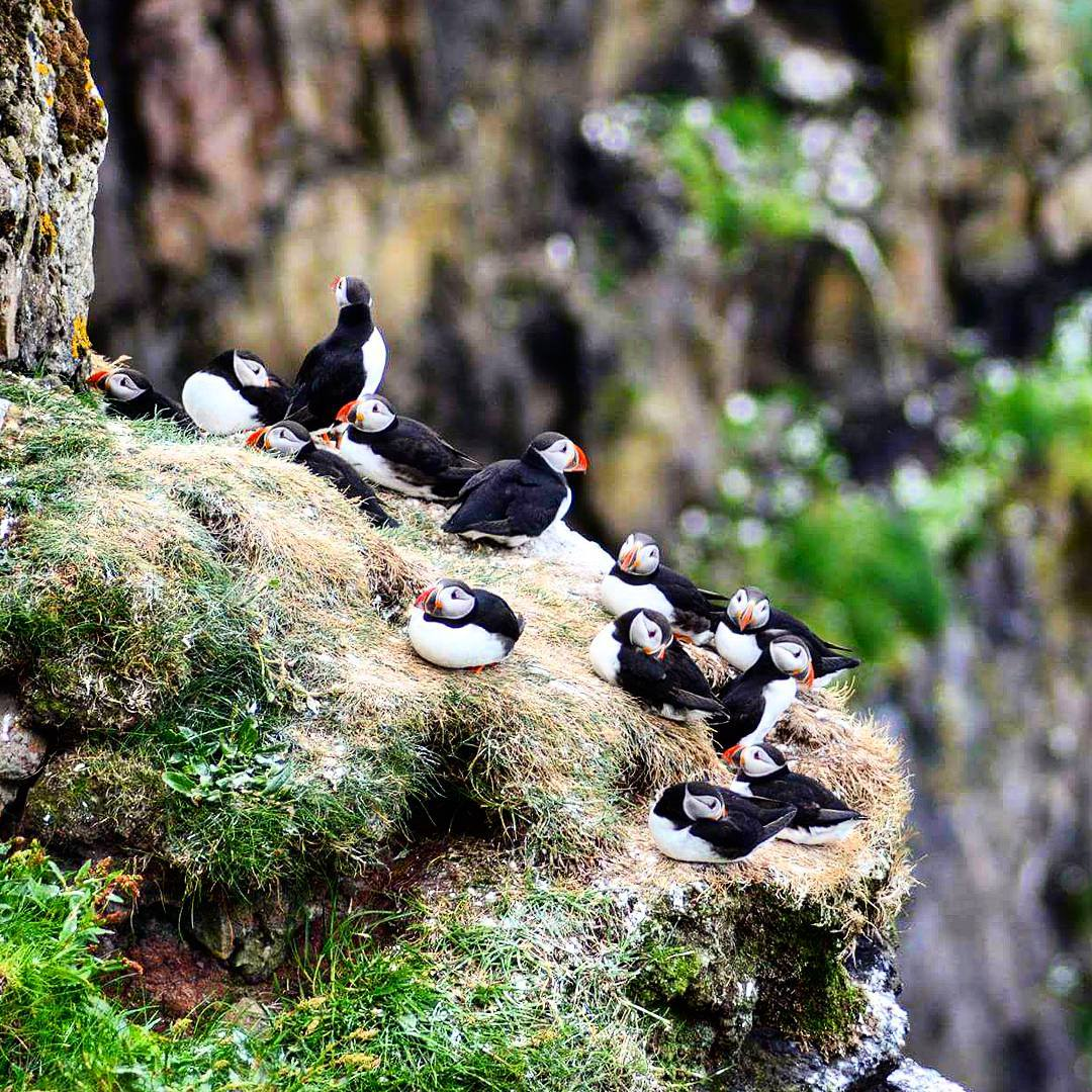 Mykines island.Every summer hundreds of thousands of puffins flock to this island every year.