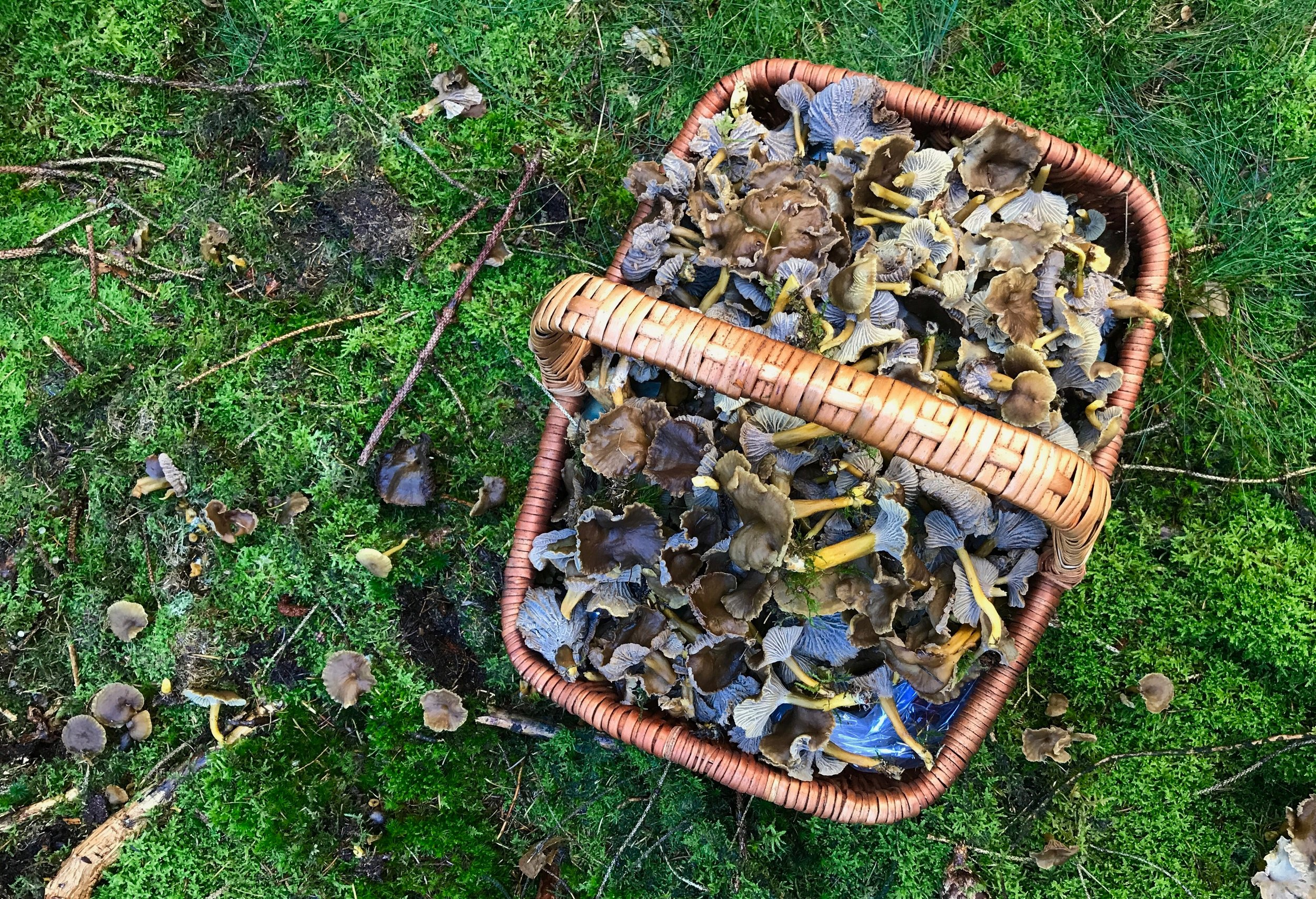 """I love picking wild mushrooms, it works like meditation for me. This is a basket full of winter chanterelles."""
