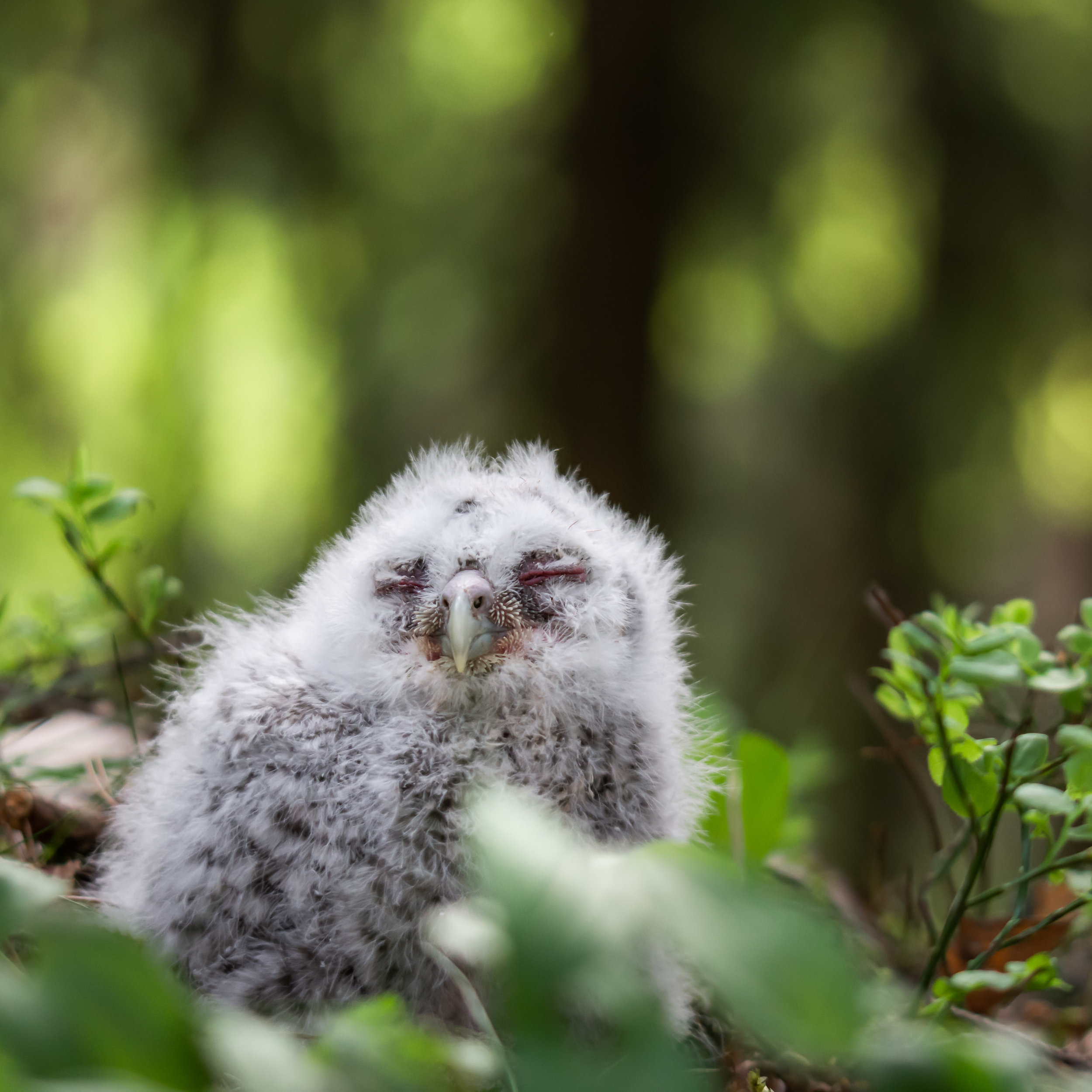 A Tawny owl baby I photographed while I spent the day with local bird ringers.