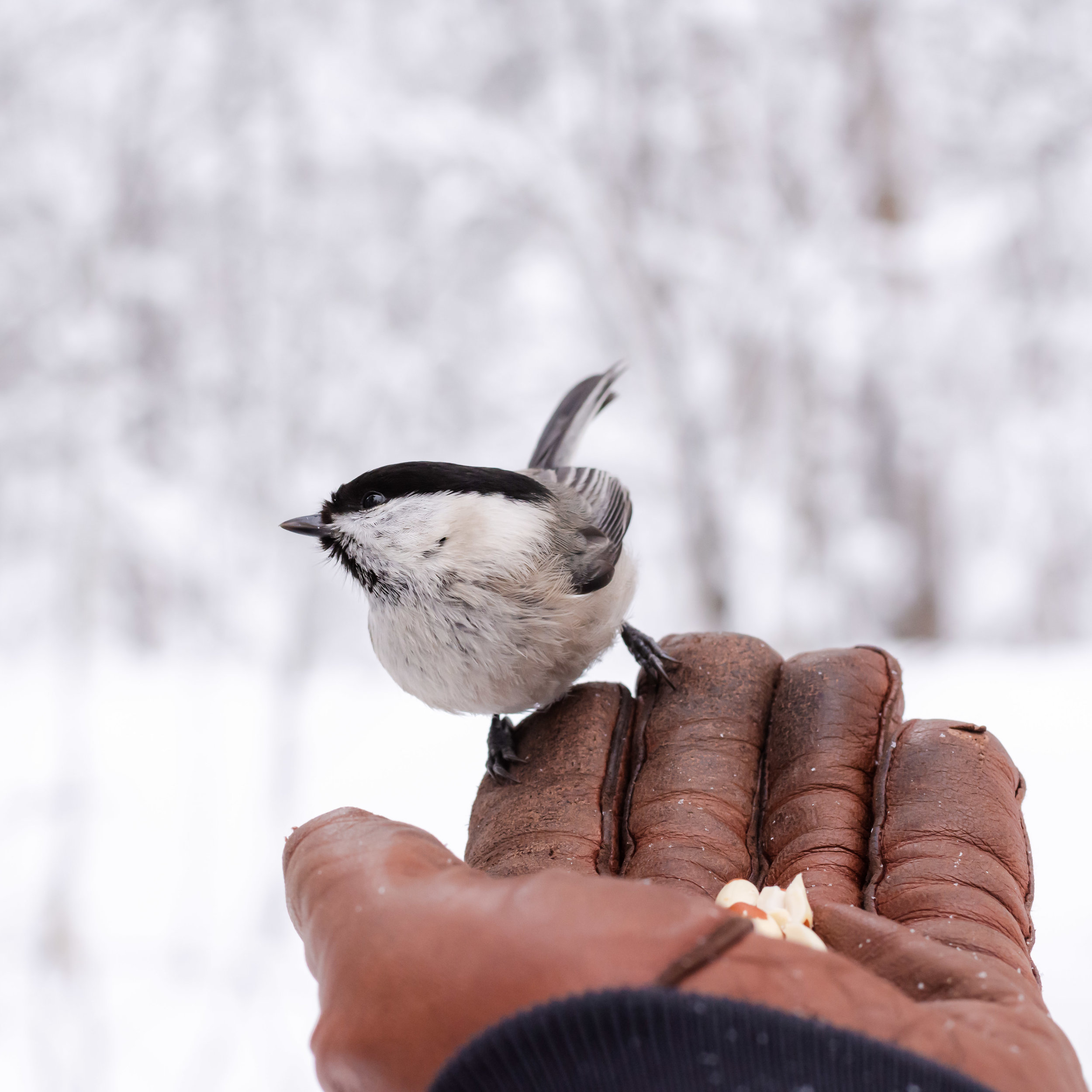 A Willow tit I managed to get to sit on my hand after many hours of trying.