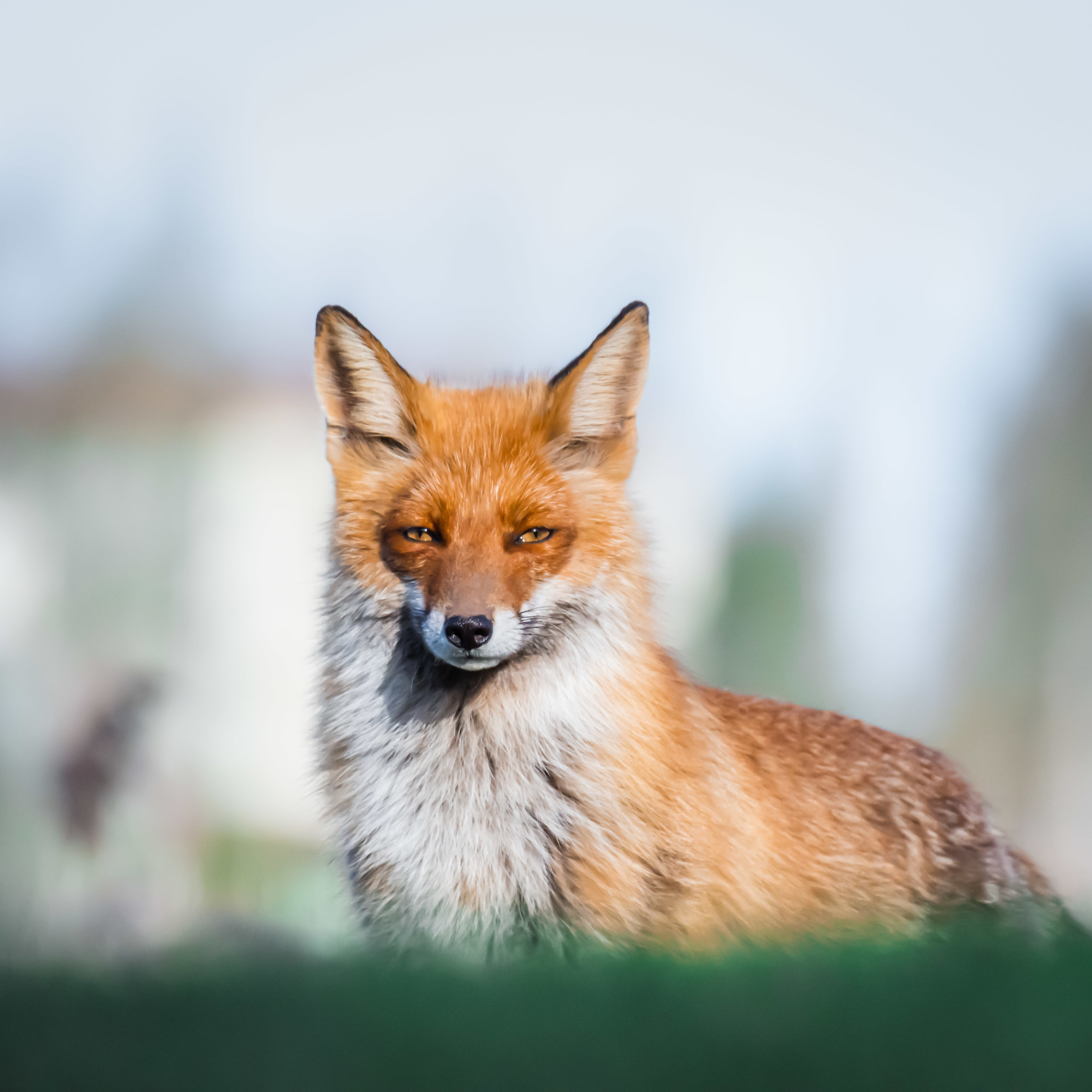 Probably the most beautiful fox I've managed to photograph.