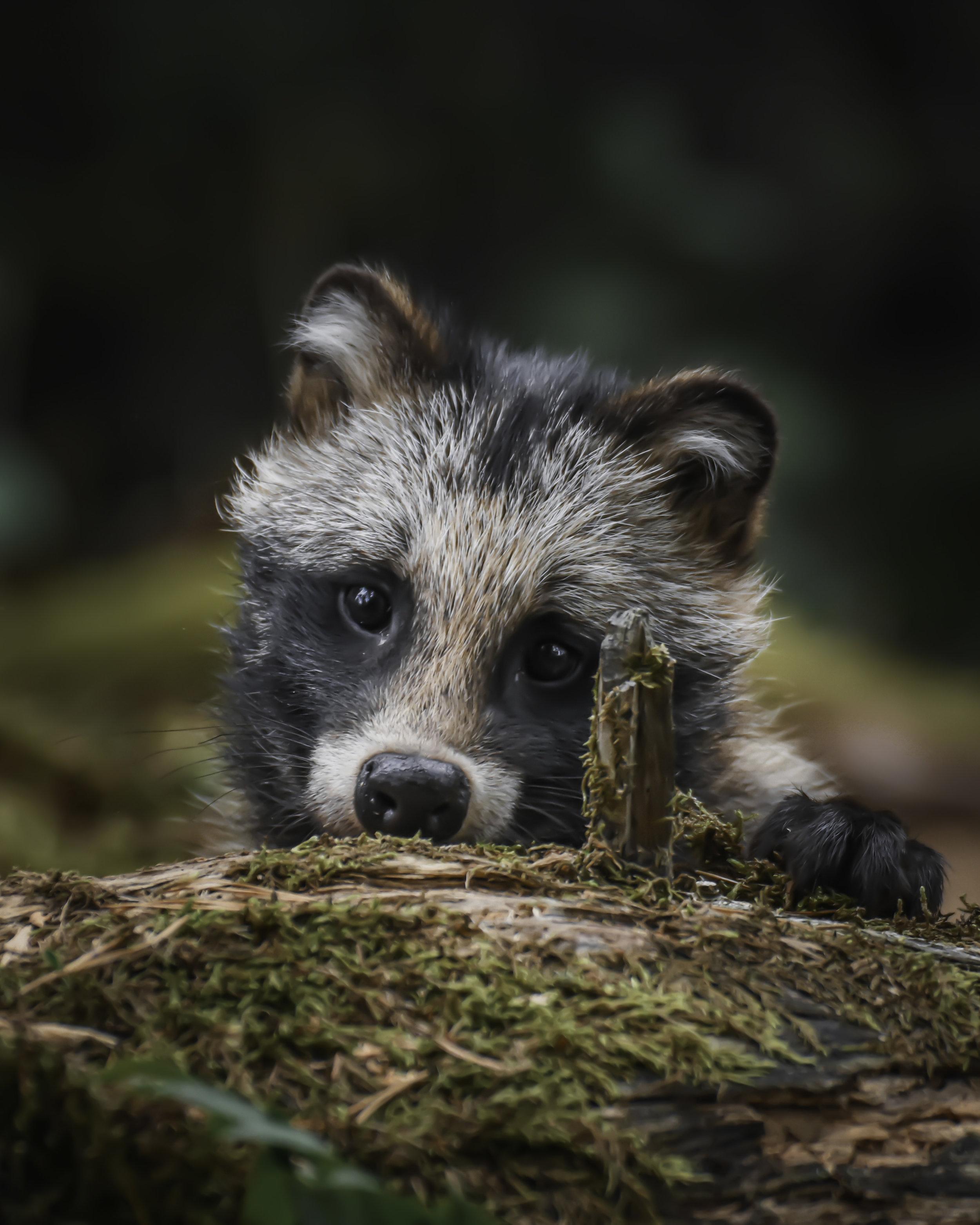 A raccoon dog pup I met in Finland's capital Helsinki.