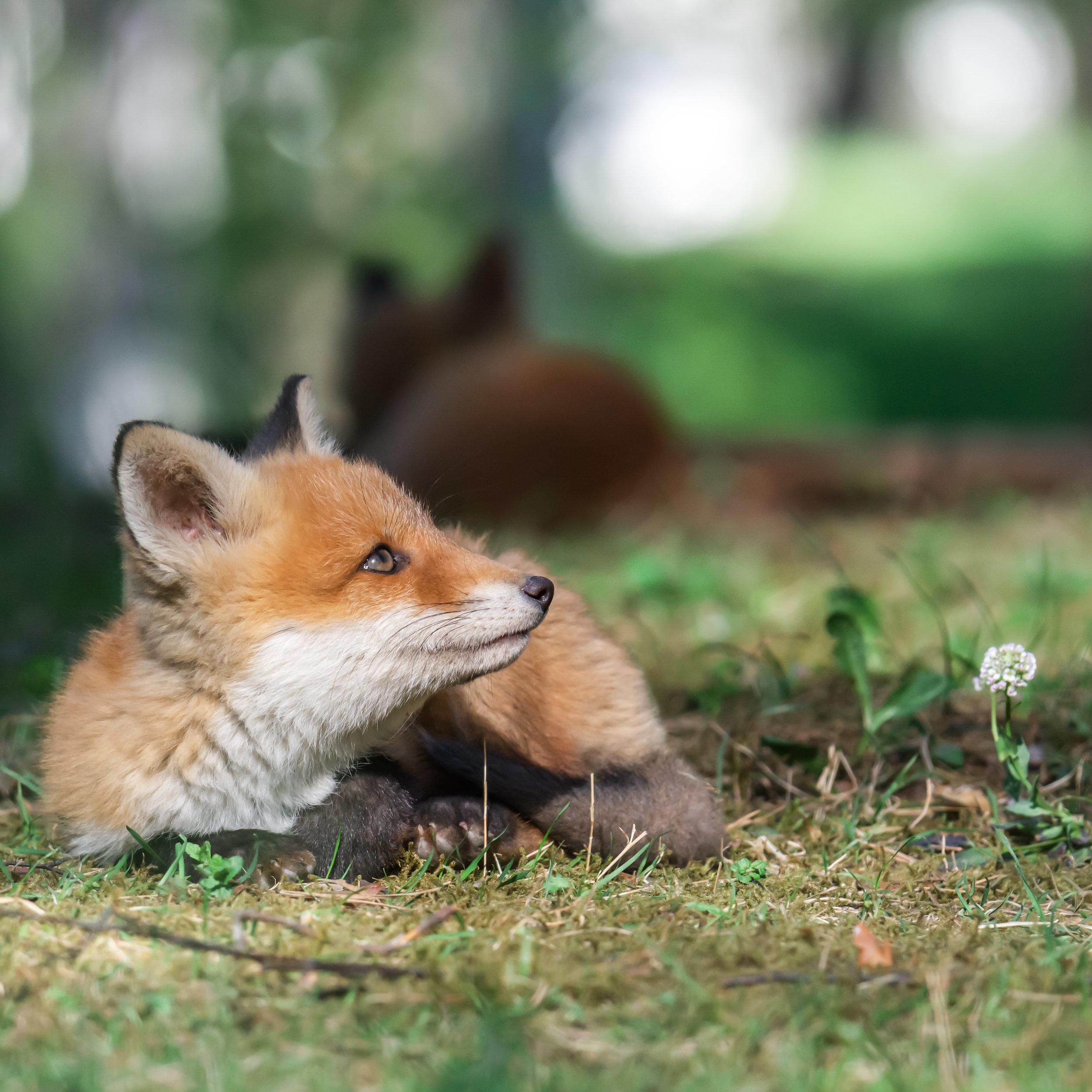 A fox cub enjoying a sunny day.