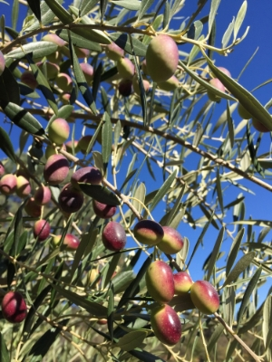 Tuscan varietals