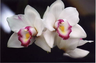 Larry Desiano/Deep Cut Orchid Society