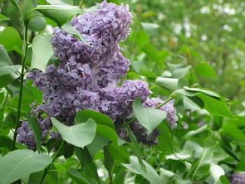 lilacs -  © vjs