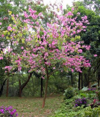 Eastern redbud - flower_8006/Flickr