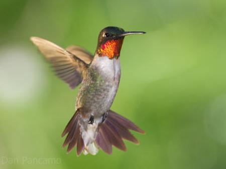 Ruby throated hummingbird  Dan Pancamo/Flickr