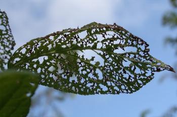Japanese beetle damage Liz Castro/Flickr