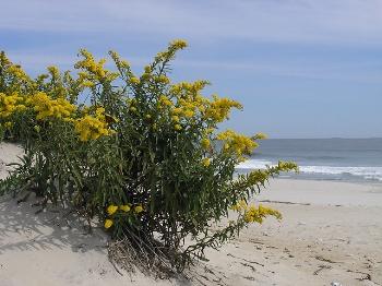 Seaside goldenrod US Fish and Wildlife Service