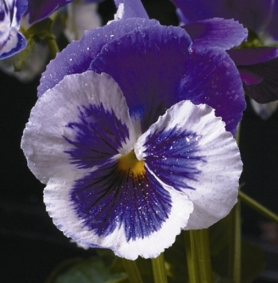 Icicle pansy 'Violet Face'/Fearnlea Flowers Lts.