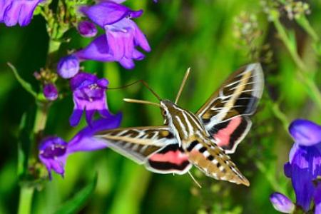 Hummingbird moth on penstemon         Larry Lamsa/Flickr