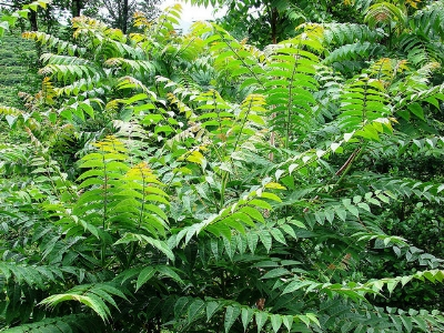 Ailanthus thicket                     NatureServe/Flickr