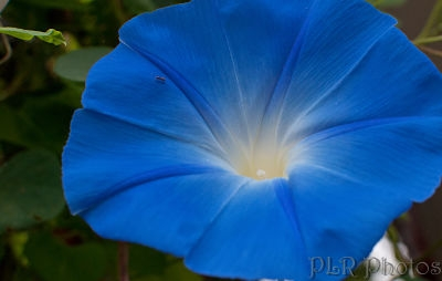 Morning glory 'Heavenly Blue'         Robert & Pat Rogers/Flickr