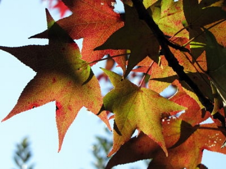 Sweet gum leaves                         Andy Atzert/Flickr
