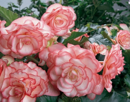 Store begonias as tubers or take cuttings.                     Proven Winners