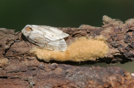 Gypsy moth, with egg mass    Wisconsin Dept.of Natural Resources