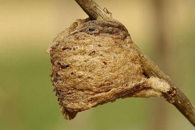 Preying mantis egg case   Indiana Ivy Nature Photo/Flickr