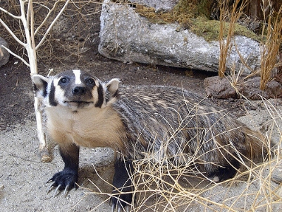 Badger                           sinewy polyp/Flickr
