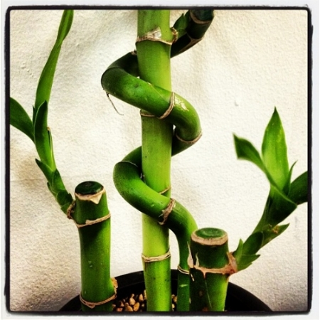 Lucky bamboo                                                               Wicker Paradise/Flickr