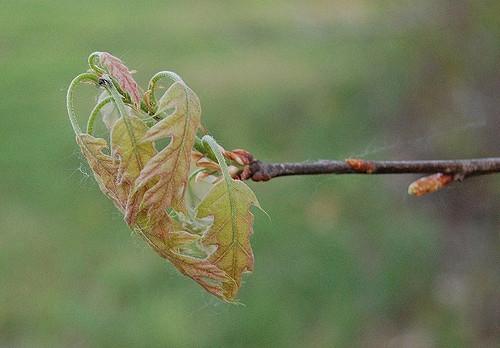 Oak leaves emerging.                                  Eli Sagor/Flickr