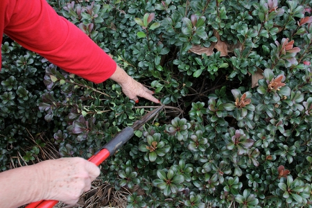 Shaping shrubs.                            UGA College of Ag and Engineering