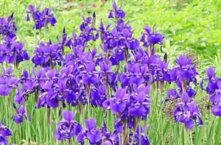 Siberian irises                        John Guest/Flickr