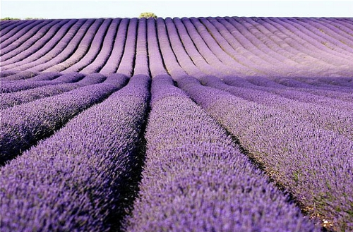 Lavender fields forever                                                     Piccadilly Pink/Flickr