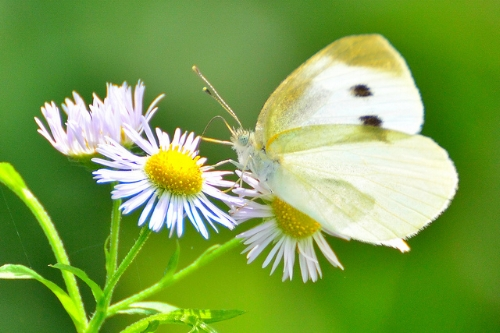 Female cabbage white butterfly.                                       Toshihiro Gamo/Flickr
