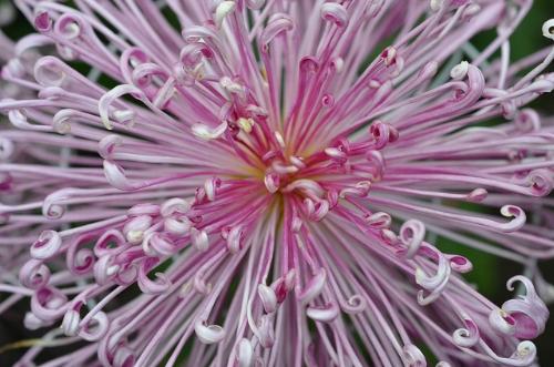 Spider mum.                                    Joe Shlabotnik/Flickr
